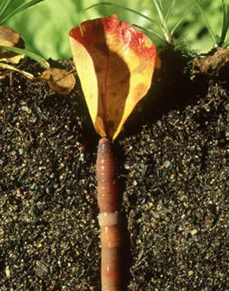 14. worm pulling leaf